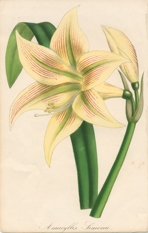 Amaryllis symonii for Amaryllis ne fleurit pas