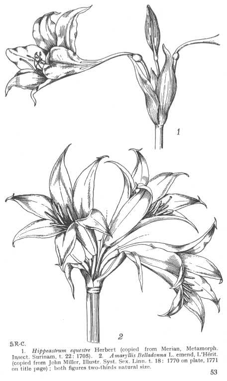 amaryllis coloring pages - photo#19