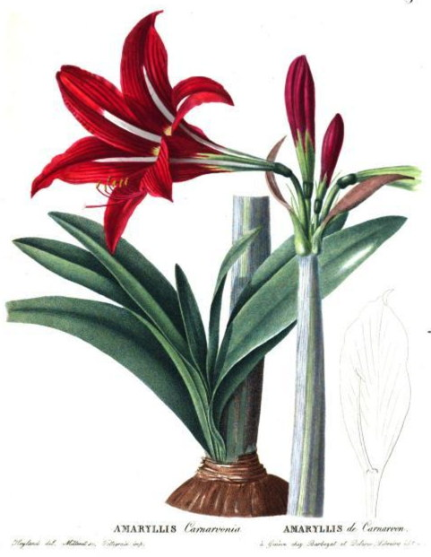 Amaryllis x carnarvonia for Planter des amaryllis