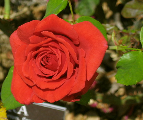 Rose pigments - What are blue roses called ...